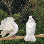 Fan Tail Doves