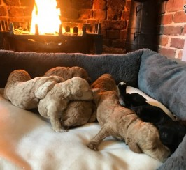 Stunning F1b Cockapoo Puppies