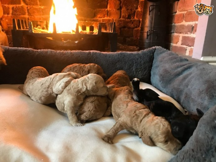 Stunning F1b Cockapoo Puppies