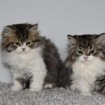 Stunning British Longhair Kitten