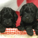 Adorable F2 Cockerpoo Puppies