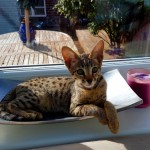 Beautiful F3 Female Savannah Kitten