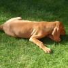 Pets  - Hungarian Vizsla Pups Fully Vaccinated.