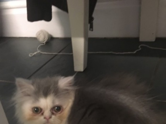 Stunning Persian Kitten Ready Now