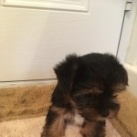 Biewer Yorkshire Terrier Boy