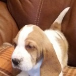 Champion Sired Puppy For Sale