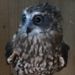 Boobook Owl For Sale
