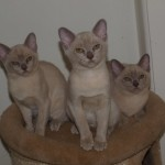 Beautfiul Pedigree Burmese Kittens