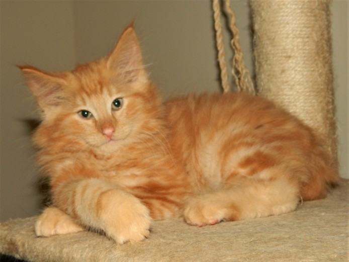 Gentle Pedigree Norwegian Forest Kitten