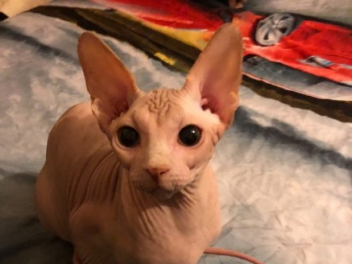Lovely Sphynx Boy