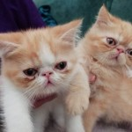 G.c.c.f. Registered Exotic Kittens