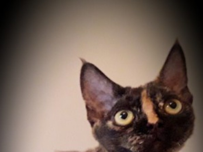 Beautiful Devon Rex Girl