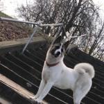 Beautiful Newborn American Akita Pups For Sale