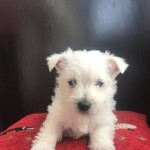 West Highland Puppies For Sale