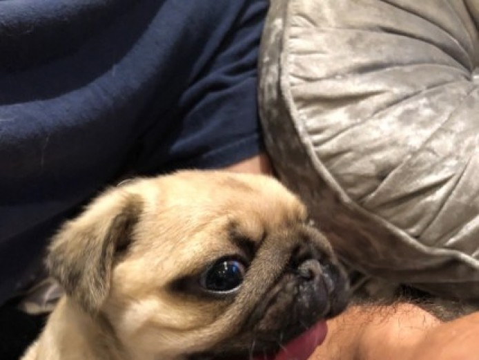 Kc Registered Pug Puppies Show Quality
