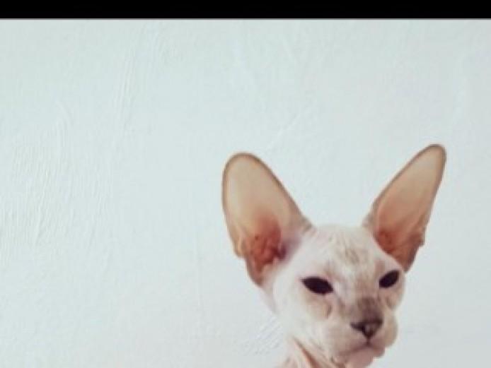 Oriental Peterbald Kitten