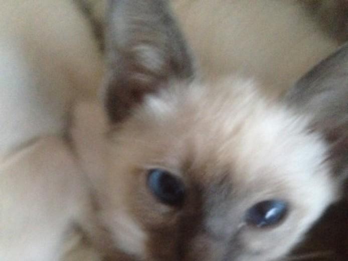 Mixed Litter Of Siamese Kittens