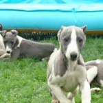 Kc Whippet Puppies Fully Inoculated