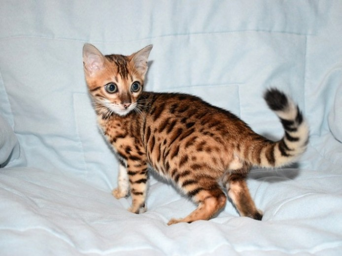 Pedigree Bengal Kittens From Health Tested Cats