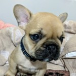 Fawn French Bulldogs Ready To Leave This Weekend