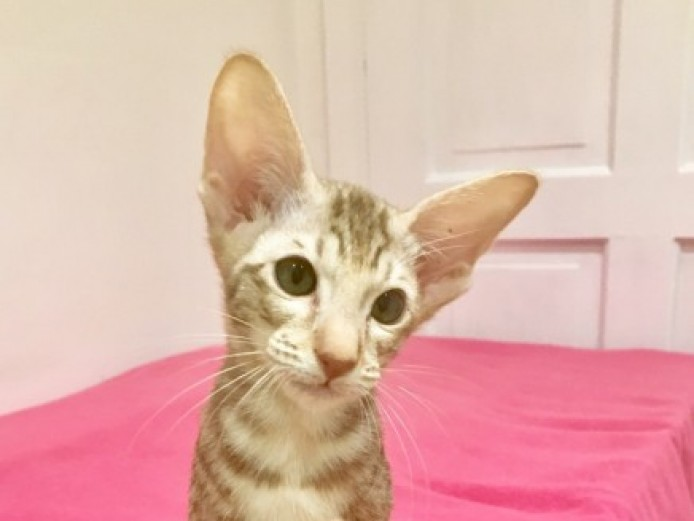 Gccf Registered Oriental Tabby Female