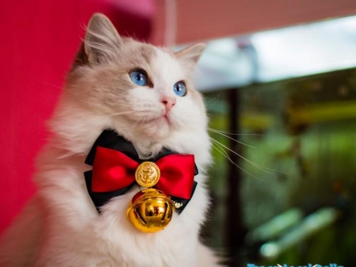 Gccf .pet.active.kitten Available . Champion Line