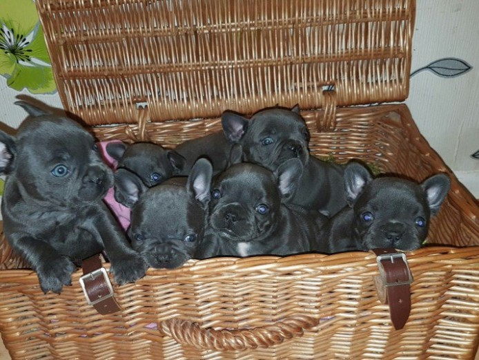 9 Solid Blue Frenchies Kc 5 Weeks Hc Clear