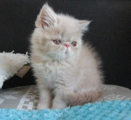 Pedigree Exotic Male Kitten