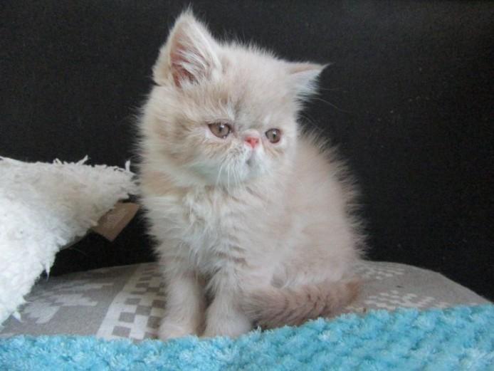 Pedigree Exotic Male Kitten