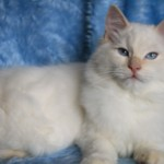Pedigree Ragdolls. Active.pet