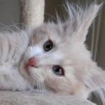 Sweet Pedigree Norwegian Forest Kitten