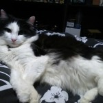 2 Year Old Black And White I Long Hair Cat Sale