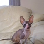 Cornish Rex Kittens Available To Reserve