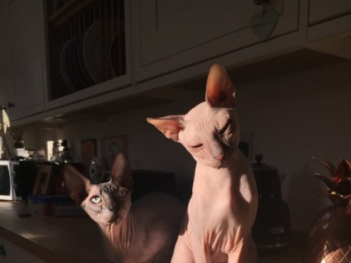 2 Male 1 Yr Old Sphynx Cats