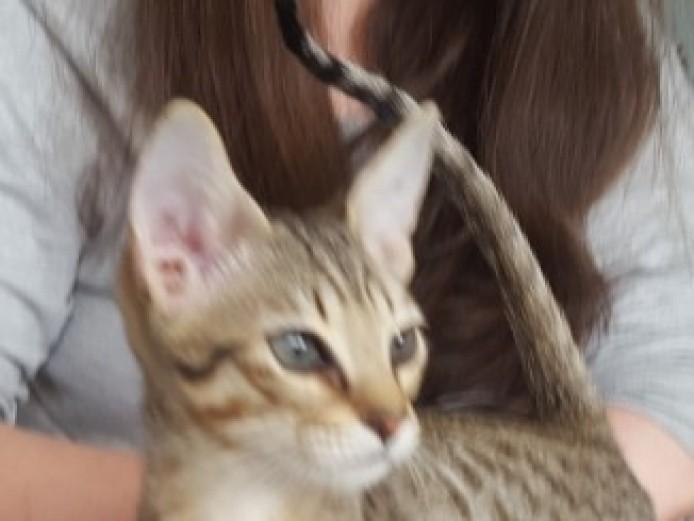 Serengeti Kitten For Sale