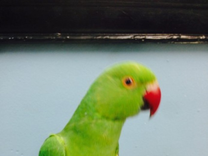 Tame Baby Indian Ringneck Talking Parrot