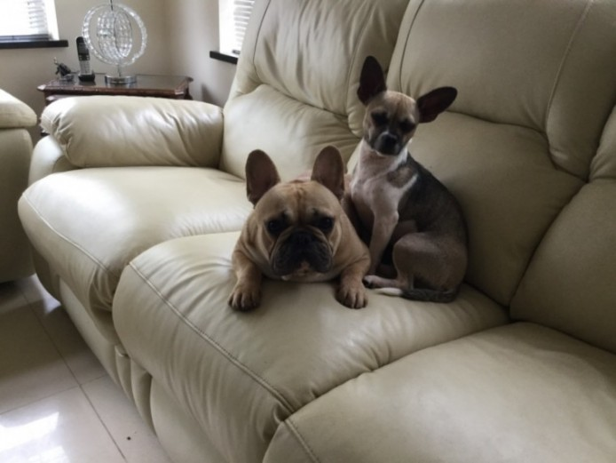 3.4 French Bulldogs