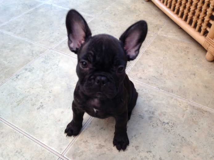 2 Left Gorgeous French Bulldog Puppies