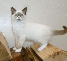 Gccf Reg. Seal Bi.colour Mitted Ragdoll Kitten