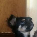 Chihuahua Puppy Boy