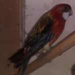 Pair Of Rosella..s