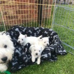 Kc Registered Male Westie Puppys