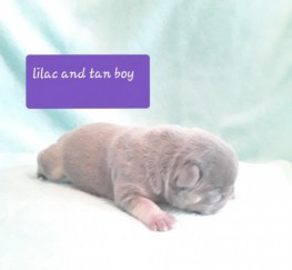 Pets  - Kc Lilac And Tan Boys.girls