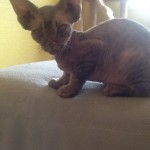 Gccf Registered Devon Rex Kittens
