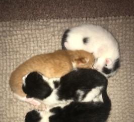 Beautiful Burmese X Kittens