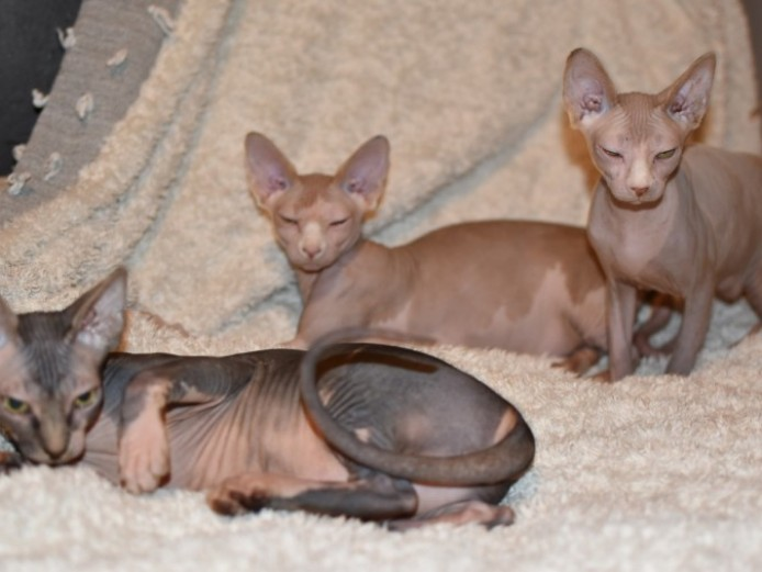Canadian Sphynx Kittens For Sale