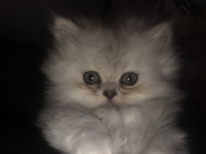Beautiful Persian Kittens ..1 Male Left..