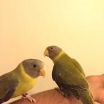 Baby Super Tame Plum Head Parrot