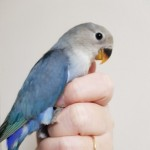 Hand Reared Lovebirds
