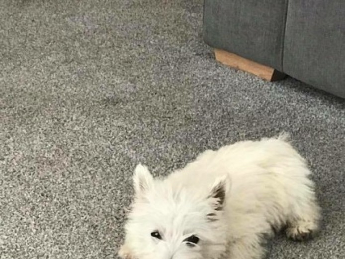 West Highland Terrier Puppie